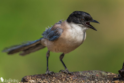 The Azure-winged Magpie (Cyanopica cyanus) - adult