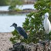 Yellow-crowned Night Heron and Reddish Egret, white morph