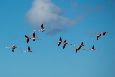 American Flamingo