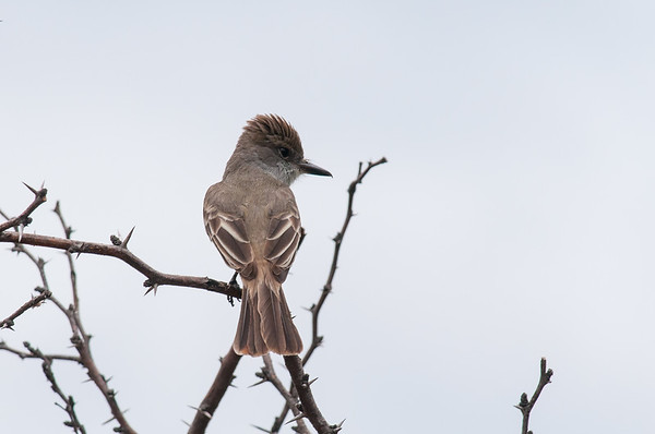 Flycatchers and Kingbirds