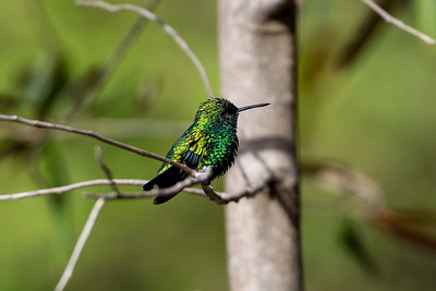 Blue-tailed Emerald Hummingbird
