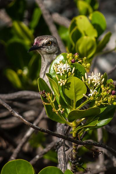 Mackingbirds, Grackles and Blackbirds