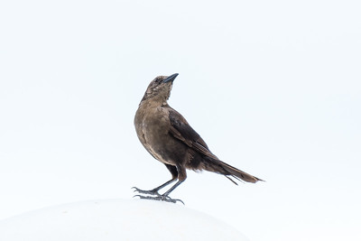 Caribbean Grackle