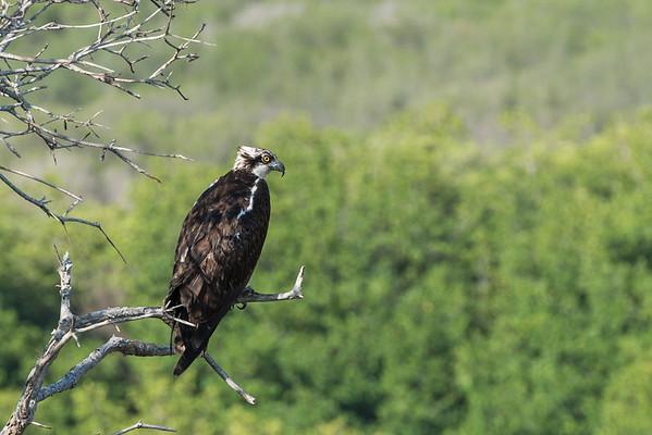 Osprey & Hawks