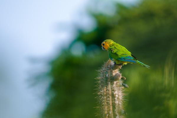 Parrots & Prikichi