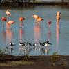 Black-necked Stilt and Caribbean Flamingo