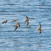 Short-billed Dowitcher and Wilson's Plover