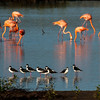 Black-necked Stilt and Caribbean Flamingo