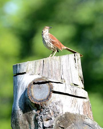 Birds Dawes