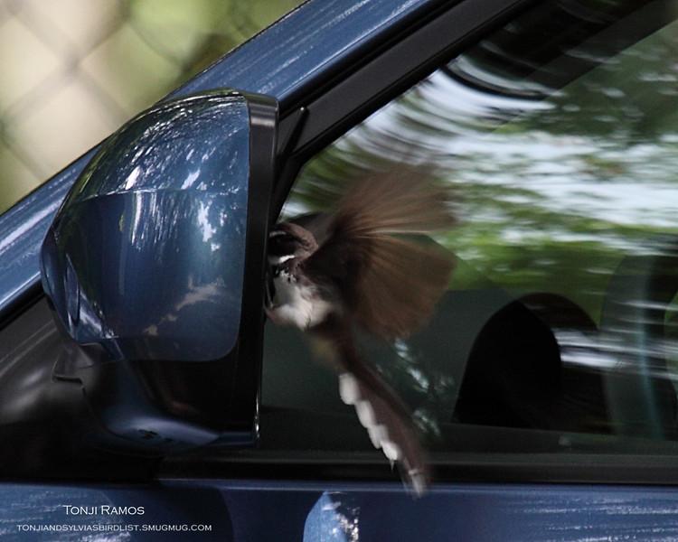 One cat down. Next .. the CAR!!  PIED FANTAIL <i>Rhipidura javanica</i> Alabang, Philippines