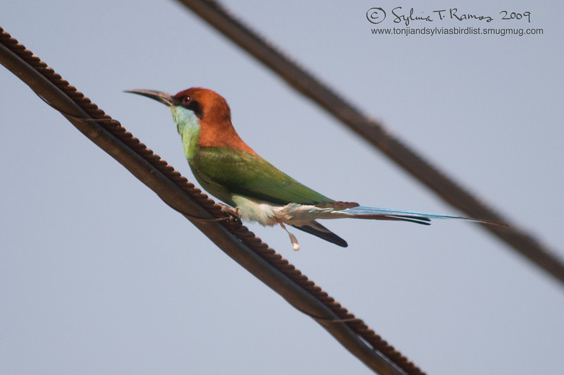 BLUE THROATED BEE EATER <i>Merops viridis</i> Subic, Zambales, Philippines  A spot of poop!