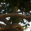 "ROSE-RINGED PARAKEET <i>Psittacula krameri (manillensis?)</i> Alabang, Muntinlupa, Philippines  breeding behavior  More pictures of these birds in the <a href=""http://tonjiandsylviasbirdlist.smugmug.com/gallery/7716608_qX7k3/1/504916264_iSVug"">Rose Ringed Parakeet gallery</a>"