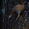 """BARRED RAIL <i>Gallirallus torquatus</i> Alabang, Muntinlupa, Philippines  Action Jackson Barred Rail clambering down a hill  More pictures of this bird in the <a href=""""http://tonjiandsylviasbirdlist.smugmug.com/gallery/7363064_vWEEy/1/474004454_qipD5"""">Barred Rail gallery</a>"""