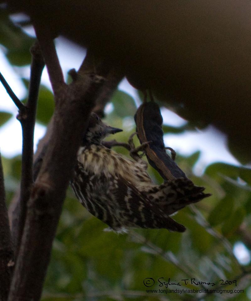 "PHILIPPINE PYGMY WOODPECKER <i>Dendrocopos maculatus</i> Alabang, Muntinlupa, Philippines  Many, many of them!  More pictures of this bird in the <a href=""http://tonjiandsylviasbirdlist.smugmug.com/gallery/7346643_ajKNE/1/516556590_oeUoL"">Philippine Pygmy Woodpecker gallery</a>"