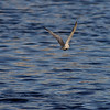 """WHISKERED TERN  <i>Chilidonias hybridus</i>  Manila Yacht Club, Philippines  Then, it flies away!   More pictures of this bird in the <a href=""""http://tonjiandsylviasbirdlist.smugmug.com/gallery/7286474_9QDyc/1/482725697_a6CCM""""> Whiskered Tern gallery</a>"""