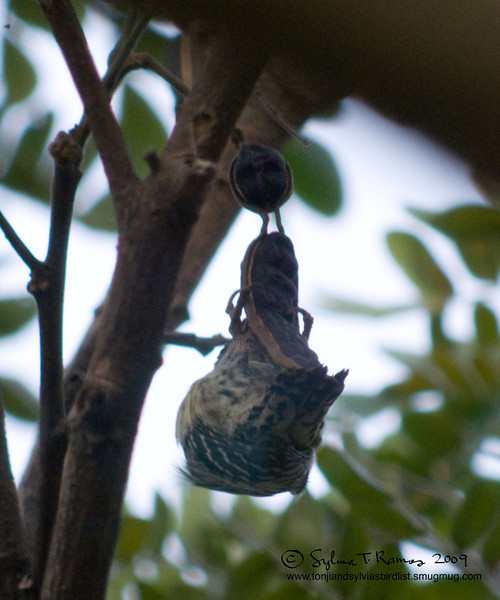"""PHILIPPINE PYGMY WOODPECKER <i>Dendrocopos maculatus</i> Alabang, Muntinlupa, Philippines  The Reason Why Woodpeckers Have Such Nice Abs  More pictures of this bird in the <a href=""""http://tonjiandsylviasbirdlist.smugmug.com/gallery/7346643_ajKNE/1/516556590_oeUoL"""">Philippine Pygmy Woodpecker gallery</a>"""