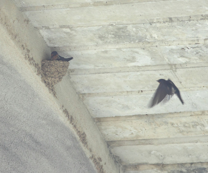 """PACIFIC SWALLOW  <i>Hirundo tahitica</i>  Caylabne, Philippines  There were 3 nests under the footbridge in Caylabne.  More pictures of these birds in the <a href=""""http://tonjiandsylviasbirdlist.smugmug.com/gallery/7314940_ekpNi/1/470543088_Q7BRX"""">Pacific Swallow gallery</a>"""