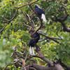 "A big bird eating a small fruit.   PALAWAN HORNBILL <i>Anthracoceros marchei</i> Sabang, Palawan  more pictures in the <a href=""http://www.tonjiandsylviasbirdlist.com/BirdsPhilippines/Hornbills/Palawan-Hornbill/25394424_Gmcbcw"">Palawan Hornbill gallery</a>"