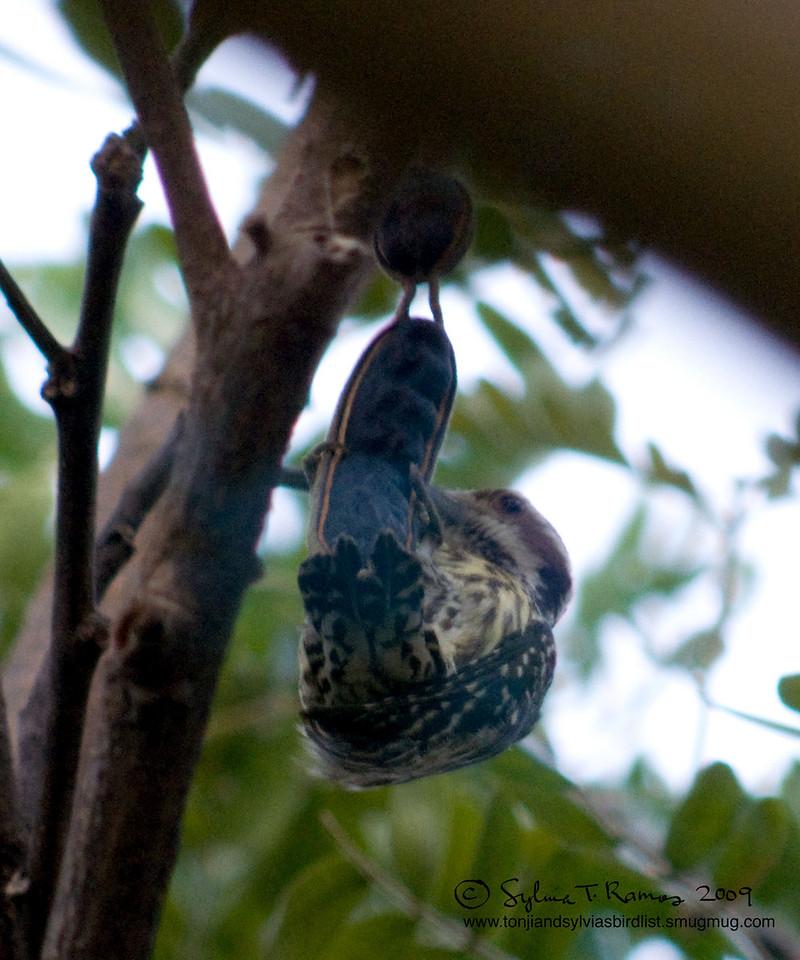 "PHILIPPINE PYGMY WOODPECKER <i>Dendrocopos maculatus</i> Alabang, Muntinlupa, Philippines  Pull Ups!  More pictures of this bird in the <a href=""http://tonjiandsylviasbirdlist.smugmug.com/gallery/7346643_ajKNE/1/516556590_oeUoL"">Philippine Pygmy Woodpecker gallery</a>"