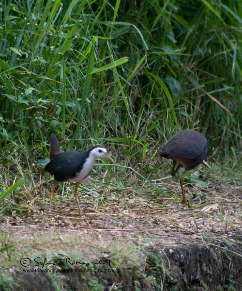 "WHITE BREASTED WATERHEN <i>Amaurornis phoenicurus</i> Alabang, Muntinlupa, Philippines  More pictures of this bird in the <a href=""http://tonjiandsylviasbirdlist.smugmug.com/gallery/7346687_KHKBU/1/472868179_mJVtP"">White Breasted Waterhen gallery</a>"