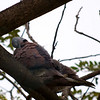 "RED TURTLE DOVE <i>Streptopelia tranquebarica</i> Alabang, Muntinlupa, Philippines  Synchronized Sleeping and ..  More pictures of this bird in the <a href=""http://tonjiandsylviasbirdlist.smugmug.com/gallery/7346724_cj7w9/1/479296125_kUyuy"">Red Turtle Dove gallery</a>"