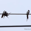 """STRIATED SWALLOW <i>Cecropis striolata</i> Mt. Palay Palay, Cavite, Philippines  The bird on the left seems to be scratching itself with a dried pod! Is this possible?  More pictures of this bird in the <a href=""""http://tonjiandsylviasbirdlist.smugmug.com/gallery/8371031_vnCbH/1/549873764_SjPvN"""">Striated Swallow gallery</a>"""