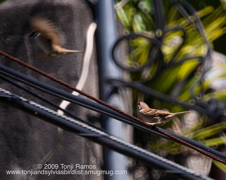 "EURASIAN TREE SPARROW <i>Passer montanus</i> Alabang, Philippines  More pictures of this bird in the  <a href=""http://tonjiandsylviasbirdlist.smugmug.com/gallery/7286784_Vm2tb/1/510595516_msbjC"">Eurasian Tree Sparrow gallery</a>"