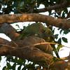 "ROSE-RINGED PARAKEET <i>Psittacula krameri (manillensis?)</i> Alabang, Muntinlupa, Philippines  More pictures of these birds in the <a href=""http://tonjiandsylviasbirdlist.smugmug.com/gallery/7716608_qX7k3/1/504916264_iSVug"">Rose Ringed Parakeet gallery</a>"