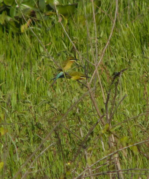 """BLUE TAILED BEE EATER <i>Merops philippinus</i> Candaba, Pampanga, Philippines  More pictures of this bird at the <a href=""""http://tonjiandsylviasbirdlist.smugmug.com/gallery/7372179_Rw6oF/1/515731404_hnvQ8"""">Blue Tailed Bee Eater gallery</a>"""