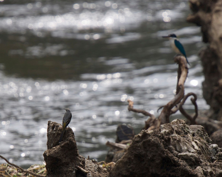 Grey Wagtail and White Collared Kingfisher hanging out