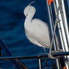 "LITTLE EGRET  <i>Egretta garzetta</i>  Manila Yacht Club, Philippines  One-Eyed Beakless Bird!  More pictures of this bird in the <a href=""http://tonjiandsylviasbirdlist.smugmug.com/gallery/7286691_wSkxY/1/482715982_i4ZqJ"">Little Egret gallery</a>"