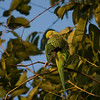 "ROSE-RINGED PARAKEET <i>Psittacula krameri (manillensis?)</i> Alabang, Muntinlupa, Philippines  More pictures of this bird in the <a href=""http://tonjiandsylviasbirdlist.smugmug.com/gallery/7716608_qX7k3/1/504916264_iSVug"">Rose Ringed Parakeet gallery</a>"