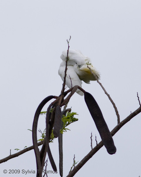 "UMBRELLA COCKATOO  <i>Cacatua alba</i> Alabang, Muntinlupa, Philippines  More pictures of this bird in the <a href=""http://tonjiandsylviasbirdlist.smugmug.com/gallery/7994947_vpDn8/1/519784531_kchjT"">Umbrella Cockatoo gallery</a>"