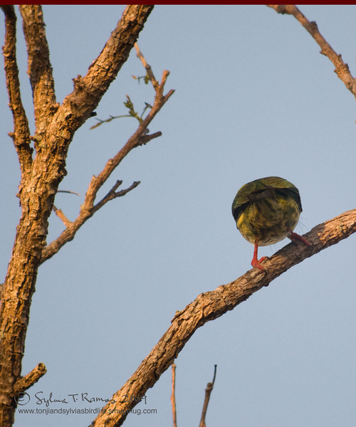 """COPPERSMITH BARBET <i>Megalaima haemacephala</i> Alabang, Philippines  A ball with legs!  More pictures of this bird in the <a href=""""http://tonjiandsylviasbirdlist.smugmug.com/gallery/7372691_7oWf4/1/502700670_z2Gcy"""">Coppersmith Barbet gallery</a>"""
