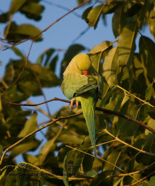 "ROSE-RINGED PARAKEET <i>Psittacula krameri (manillensis?)</i> Alabang, Muntinlupa, Philippines  Is it facing forwards .. or backwards?  More pictures of this bird in the <a href=""http://tonjiandsylviasbirdlist.smugmug.com/gallery/7716608_qX7k3/1/504916264_iSVug"">Rose Ringed Parakeet gallery</a>"