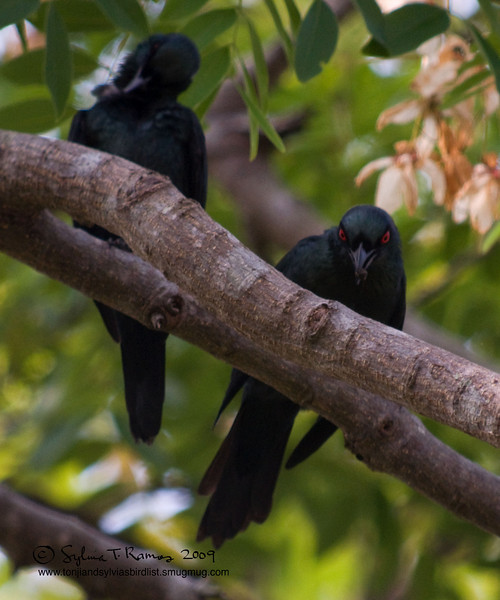 """ASIAN GLOSSY STARLING <i>Aplonis panayensis</i> Caylabne, Cavite,   Eeeevil Ganster Bird and his Sidekick  More pictures of these birds in <a href=""""http://tonjiandsylviasbirdlist.smugmug.com/gallery/7315011_Crjfz/1/501878416_MBvfH"""">Asian Glossy Starling gallery</a>"""