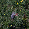 "PURPLE HERON <i>Ardea purpurea</i> Candaba, Pampanga, Philippines  More pictures of this bird in the <a href=""http://tonjiandsylviasbirdlist.smugmug.com/gallery/7303658_Bp8gk/1/469710064_hVynv"">Purple Heron gallery</a>"