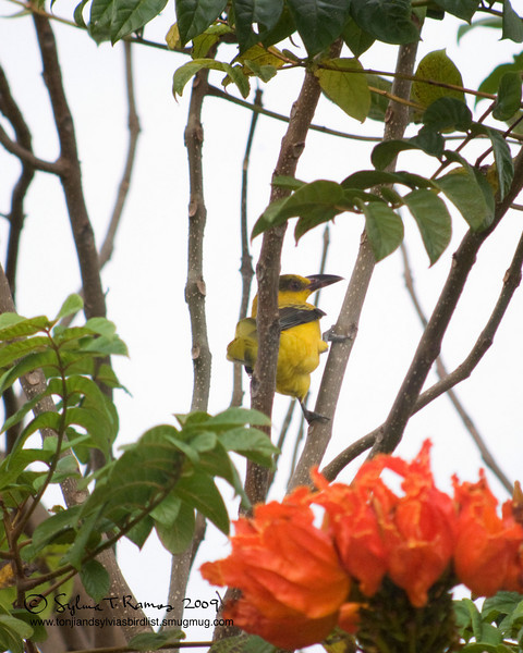 "BLACK NAPED ORIOLE <i>Oriolus chinensis</i> Alabang, Philippines  More pictures of this bird in the <a href=""http://tonjiandsylviasbirdlist.smugmug.com/gallery/7302871_93i4H/1/504931363_aDq79"">Black Naped Oriole gallery</a>"