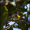 Is it detachable?  MOUNTAIN WHITE EYE  <i>Zosterops nigrorum