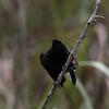 "PIED BUSHCHAT, male <i>Saxicola caprata</i> Sierra Madre, Nueva Ecija  More pictures of this bird in the <a href=""http://tonjiandsylviasbirdlist.smugmug.com/gallery/7362574_wRA6s/1/527727891_AkGhr"">Pied Bushchat gallery</a>"