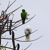 "UMBRELLA COCKATOO and ECLECTUS PARROT <i>Cacatua alba</i> and <i>Eclectus roratus</i> Alabang, Muntinlupa, Philippines  More pictures of the Umbrella Cockatoo in the <a href=""http://tonjiandsylviasbirdlist.smugmug.com/gallery/7994947_vpDn8/1/519784531_kchjT"">Umbrella Cockatoo gallery</a> More pictures of the Eclectus Parrot in the <a href=""http://tonjiandsylviasbirdlist.smugmug.com/gallery/7909642_xSfpM/1/514944318_BQtnD"">Eclectus Parrot gallery</a>"