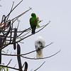 """UMBRELLA COCKATOO and ECLECTUS PARROT <i>Cacatua alba</i> and <i>Eclectus roratus</i> Alabang, Muntinlupa, Philippines  More pictures of the Umbrella Cockatoo in the <a href=""""http://tonjiandsylviasbirdlist.smugmug.com/gallery/7994947_vpDn8/1/519784531_kchjT"""">Umbrella Cockatoo gallery</a> More pictures of the Eclectus Parrot in the <a href=""""http://tonjiandsylviasbirdlist.smugmug.com/gallery/7909642_xSfpM/1/514944318_BQtnD"""">Eclectus Parrot gallery</a>"""