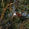 Fish. I think it's <i>bangus</i>.   BRAHMINY KITE <i>Haliastur indus</i> Laoag, Ilocos Norte