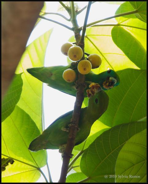 "yellow wild figs  GUAIABERO  <i>Bolpopsittacus lunulatus</i> Mt. Palay Palay, Cavite, Philippines  more pictures in the <a href=""http://tonjiandsylviasbirdlist.smugmug.com/gallery/7382503_odzdD/1/582305688_EfWTv"">Guiabero gallery</a>"