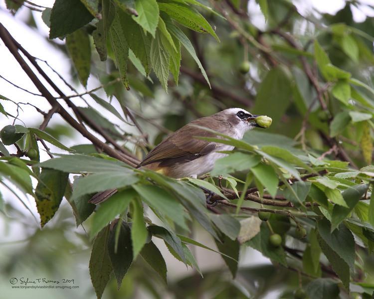 "Aratiles fruit, even when it's green.    YELLOW-VENTED BULBUL <i>Pycnonotus goiavier</i> Lipa, Batangas, Philippines   more pictures in the <a href""http://tonjiandsylviasbirdlist.smugmug.com/The-Bird-List/Bulbuls/Yellow-Vented-Bulbul/7302349_YLH8k/1/505057688_LyfsZ"">Yellow Vented Bulbul gallery<a/>"