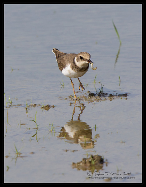"""Um, what could that be?  LITTLE RINGED-PLOVER <i>Charadrius dubius</i> Candaba, Pampanga, Philippines  more pictures in the <a href=""""http://tonjiandsylviasbirdlist.smugmug.com/The-Bird-List/Plovers/Little-Ringed-Plover/9673323_6Cokv/1/730709549_tuUmF"""">Little Ringed Plover gallery</a>"""