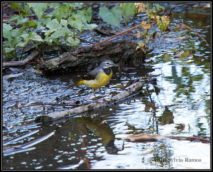 If you look closely, it's holding a small fish.  GREY WAGTAIL <i>Motacilla cinerea</i> Ayala Alabang, Philippines