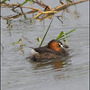 Gotcha!  LITTLE GREBE, breeding plumage <i>Tachybaptus ruficollis</i> Candaba, Pampanga, Philippines