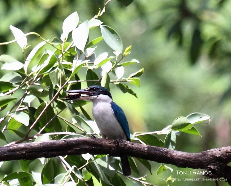 """A bat!  WHITE COLLARED KINGFISHER <i>Halcyon chloris</i> Alabang, Philippines  More pictures of this bird in the <a href=""""http://tonjiandsylviasbirdlist.smugmug.com/gallery/7311269_G46G7/1/509180088_Fx6NP"""">White Collared Kingfisher gallery</a>"""