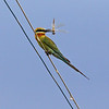 """A dragonfly.  BLUE TAILED BEE EATER <i>Merops philippinus</i> Masantol, Pampanga, Philippines  More pictures of this bird in the <a href=""""http://tonjiandsylviasbirdlist.smugmug.com/gallery/7372179_Rw6oF/1/474669602_MhzQR"""">Blue Tailed Bee Eater gallery</a>"""